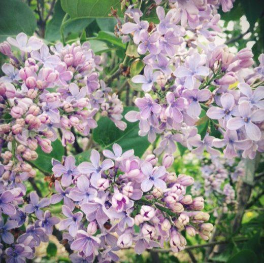 Le lilas violet au Jardin Bontanique de Montréal. ©photo CléoSimplement.com